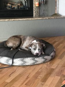 A dog content on his dog bed.