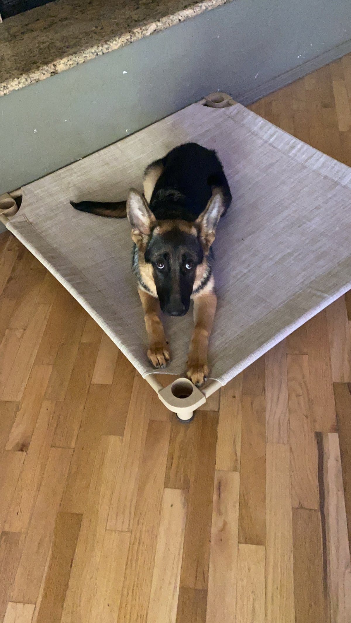 german shepherd puppy staying in place as part of his dog training program